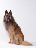Seduta del cane di Tervuren, fondo dello studio Immagine Stock