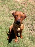 seduta del cane del ridgeback fotografia stock libera da diritti