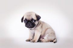 Seduta del carlino del cucciolo del Fawn Immagine Stock Libera da Diritti