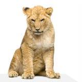 Seduta del Cub di leone Fotografia Stock Libera da Diritti