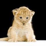 Seduta del Cub di leone Immagini Stock