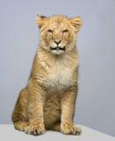 Seduta del Cub di leone Immagini Stock Libere da Diritti