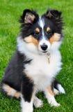 Seduta del cucciolo del cane pastore di Shetland Immagini Stock