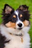 Seduta del cucciolo del cane pastore di Shetland Immagine Stock