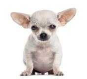 Seduta del cucciolo della chihuahua, esaminante la macchina fotografica, 4 mesi Immagine Stock