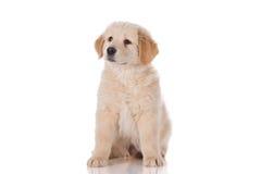 Seduta del cucciolo di golden retriever Fotografia Stock Libera da Diritti