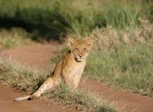 Seduta del cucciolo di leone Immagine Stock
