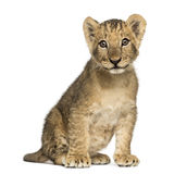 Seduta del cucciolo di leone vecchia, esaminando la macchina fotografica, 10 settimane, isolate fotografia stock