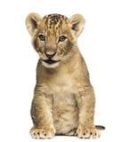 Seduta del cucciolo di leone, vecchio 7 settimane, isolata Fotografie Stock