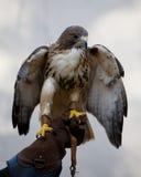 Seduta del falco   Immagini Stock