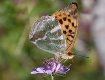 seduta del fiore di farfalla Fotografia Stock Libera da Diritti