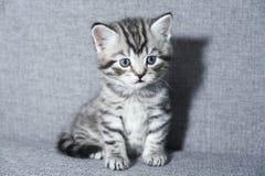 Seduta del gattino bambino del gattino del soriano Fotografia Stock