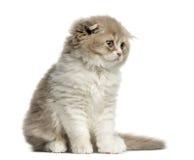 Seduta del gattino del popolare dell'altopiano isolata su bianco Fotografia Stock