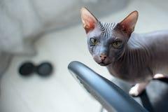Seduta del gattino della Sfinge, esaminante la macchina fotografica Fotografia Stock Libera da Diritti