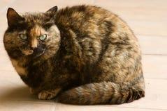Seduta del gatto Fotografia Stock Libera da Diritti