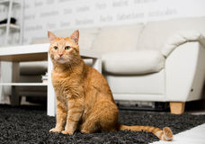 Seduta del gatto dello zenzero Immagini Stock Libere da Diritti
