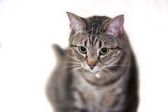 Seduta del gatto di Shorthair dell'americano Fotografie Stock Libere da Diritti