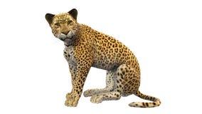 Seduta del leopardo, animale selvatico isolato su bianco Fotografia Stock
