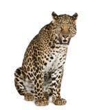 Seduta del leopardo, ruggente, pardus della panthera Fotografia Stock