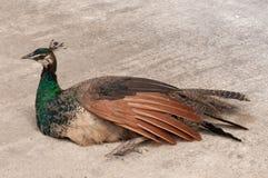 Seduta del pavone Fotografia Stock