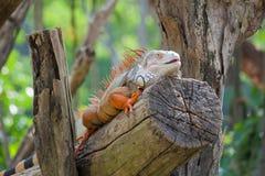 Seduta del rettile dell'iguana Immagine Stock Libera da Diritti