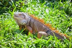 Seduta del rettile dell'iguana Immagini Stock