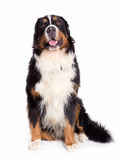 Seduta del ritratto del cane di Berner Sennenhund Fotografia Stock
