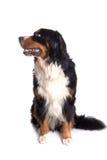 Seduta del ritratto del cane di Berner Sennenhund Fotografie Stock Libere da Diritti
