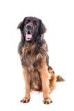 Seduta del ritratto del cane di Berner Sennenhund Immagini Stock