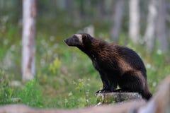 Seduta del Wolverine (gulo del gulo) Fotografie Stock Libere da Diritti