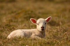 Seduta dell'agnello Fotografia Stock Libera da Diritti
