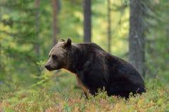 Seduta dell'orso bruno Fotografia Stock