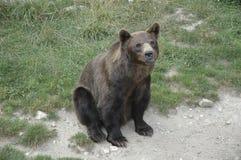 Seduta dell'orso di Brown Fotografia Stock