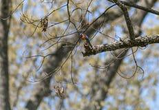 Seduta dell'uccellino azzurro Immagini Stock Libere da Diritti