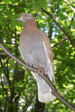 Seduta della colomba Immagini Stock Libere da Diritti
