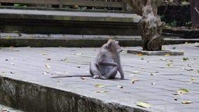 Seduta della scimmia e foglie di cibo in Bali archivi video