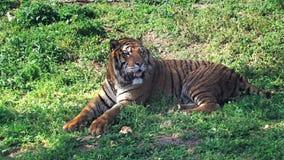 Seduta della tigre video d archivio
