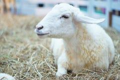 Seduta delle pecore bianche Fotografia Stock Libera da Diritti