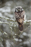 Seduta di Hawk Owl Fotografia Stock Libera da Diritti