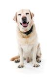 Seduta di Labrador Fotografia Stock Libera da Diritti