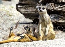 Seduta di Meerkat Immagini Stock