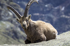 Seduta di stambecco delle Alpi Immagine Stock Libera da Diritti