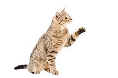 Seduta diritta scozzese del gatto allegro con la zampa alzata Immagine Stock