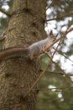 Seduta divertente dello scoiattolo rosso alta su un albero nell'inverno fotografia stock