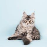 Seduta e lavaggio del gattino del procione lavatore di Maine sul blu Fotografia Stock Libera da Diritti