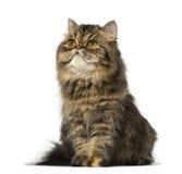 Seduta e lookin persiani del gattino su (8 mesi) Fotografie Stock