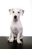 Seduta e sorveglianza del cucciolo di Jack russell Immagini Stock Libere da Diritti