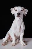 Seduta e sorveglianza del cucciolo di Jack russell Fotografia Stock Libera da Diritti