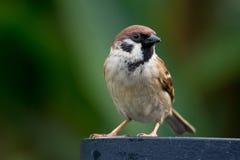 Seduta e sorveglianza del passero Fotografia Stock