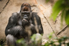 Seduta e sorveglianza della gorilla del maschio adulto Fotografia Stock